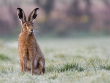 Brown hare Damian Waters SWT10555